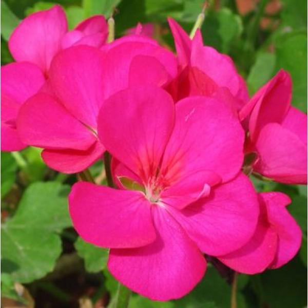 Geranium Pink Plant