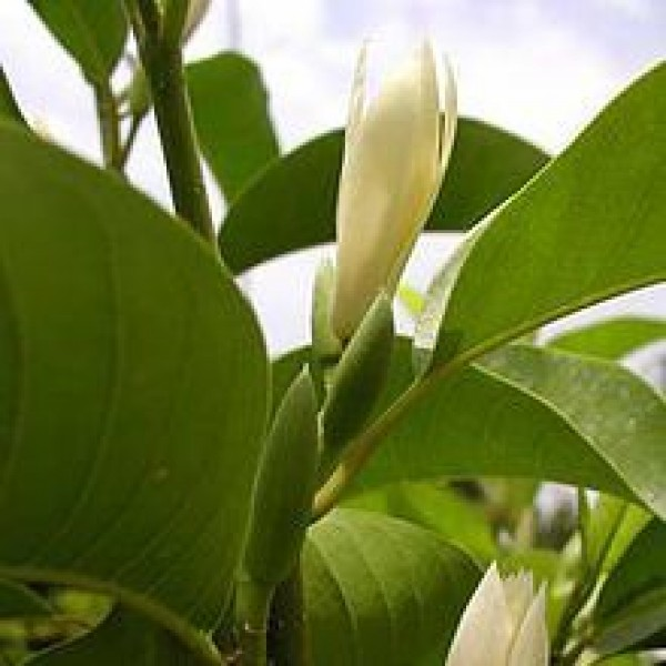 Michelia Son Champa White Plant