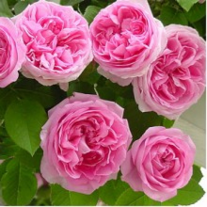 Climbing Rose Pink Flower Plant