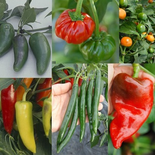 Omaxe Capsicum Seeds - Set of 7 Seeds pack
