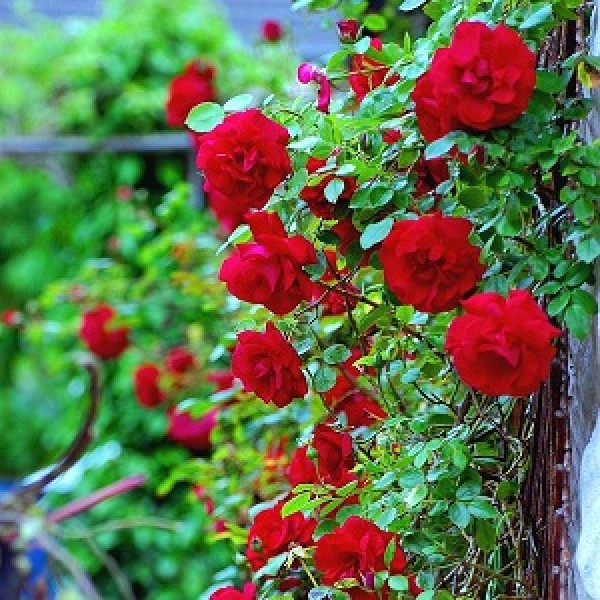 Climbing Rose Red Seeds - Pack of 5 Seeds
