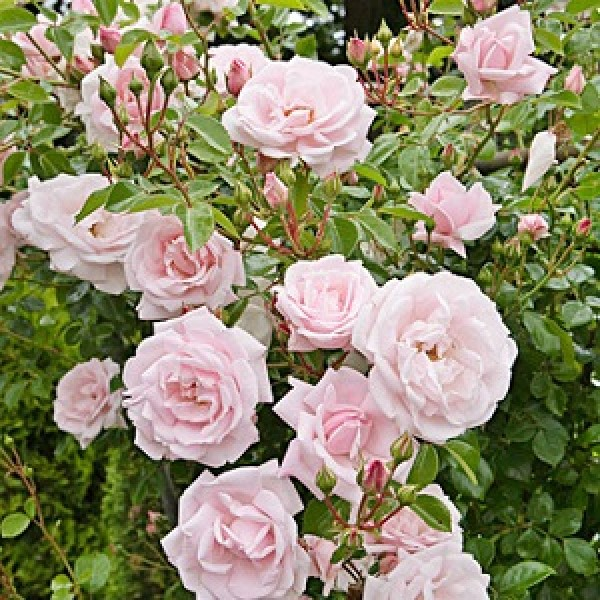 Climbing Rose White Seeds - Pack of 5 Seeds
