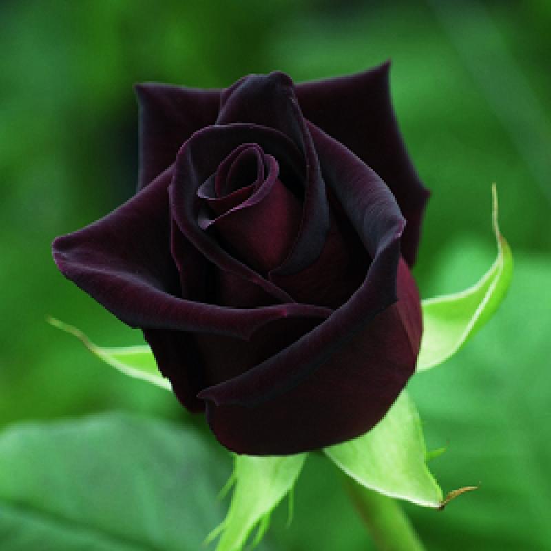 Black Rose Seeds - Pack of 5 Seeds