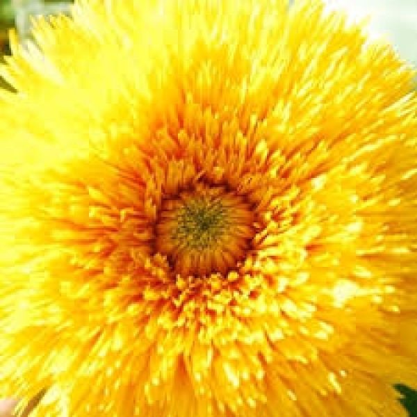 Omaxe Sunflower Sungold Teddy Bear Seeds