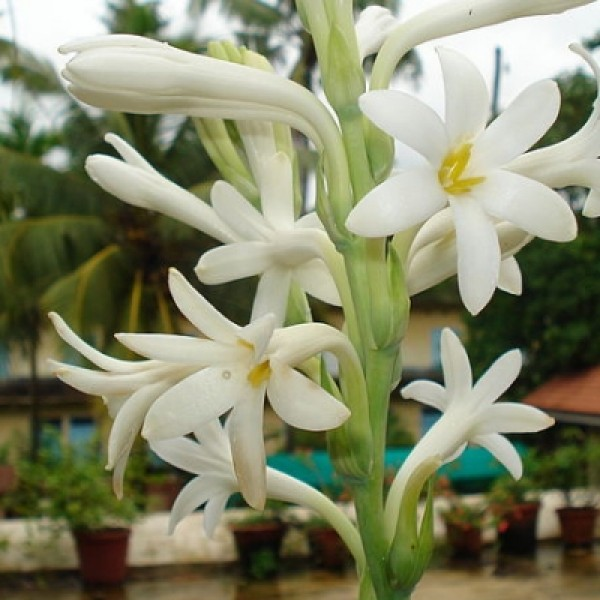 Tuberose, Rajnigandha Bulbs (Pack of 12 Bulb)