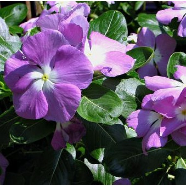 Omaxe Vinca F1 Nana Black Purple Seeds