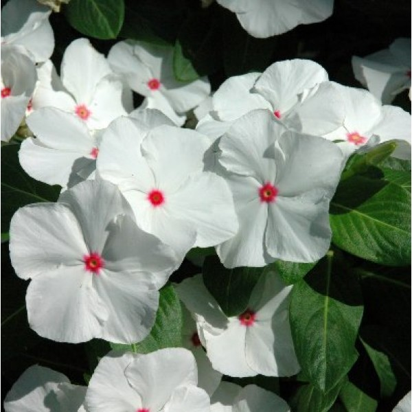 Vinca F1 Nana Little Bright Eyes Seeds