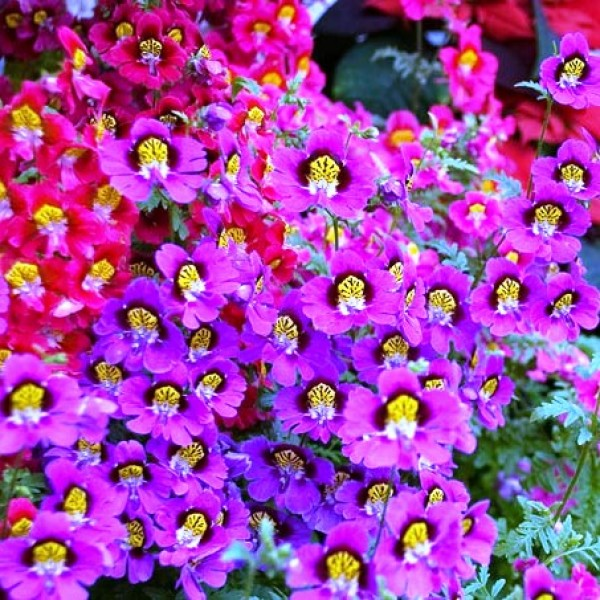 Omaxe Schizanthus Angel Mixed seeds