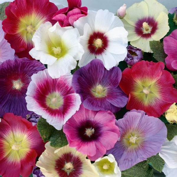 Omaxe Hollyhock mixed seeds (100 seeds)
