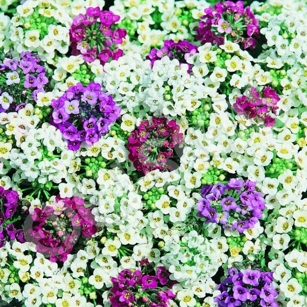 Alyssum Carpet Mixed Seeds