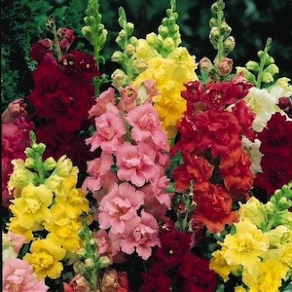 Omaxe Antirrhinum Dwarf Mixed Seeds