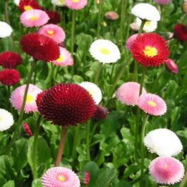 Omaxe Daisy Mixed Bellis Perennis Seeds
