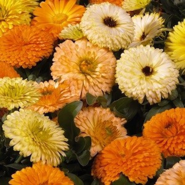 Omaxe Calendula Bon Bon Mixed Seeds