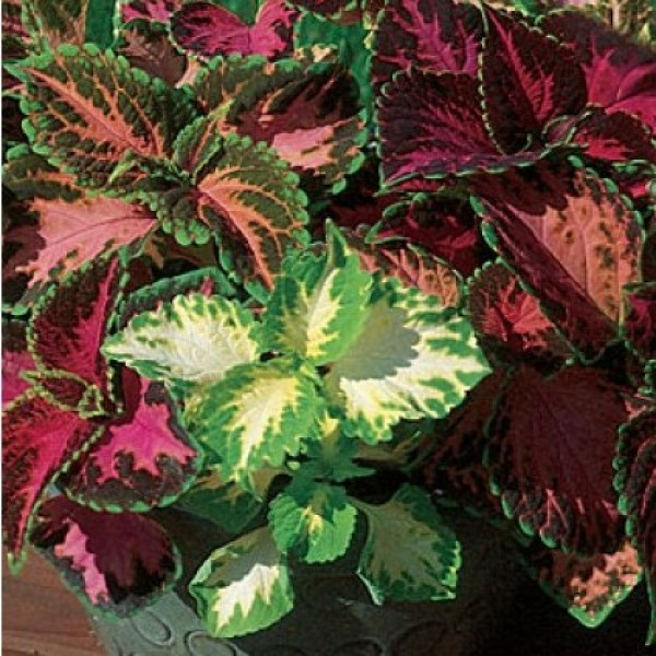 Omaxe Coleus Rainbow Mixed Seeds