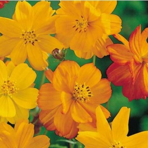Omaxe Cosmos Bright Light Yellow Seeds