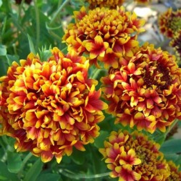 Omaxe Gaillardia Finest Mixed Seeds
