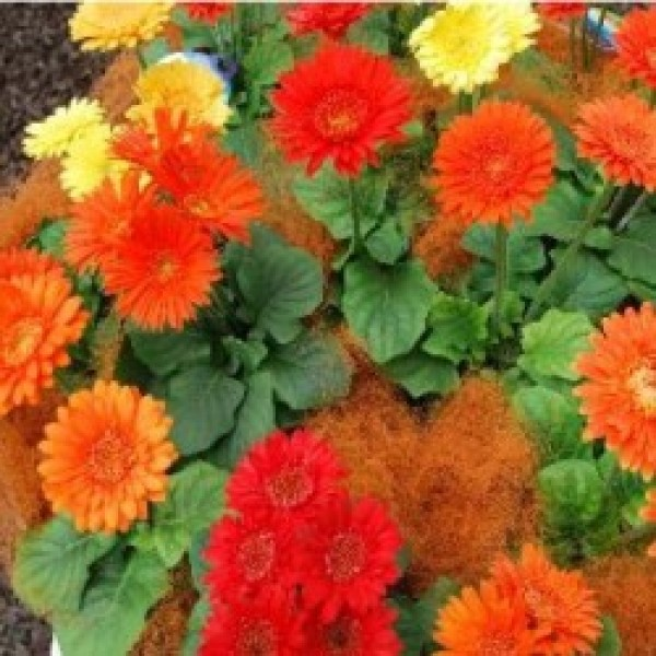 Omaxe Gerbera Micro Mini Seeds