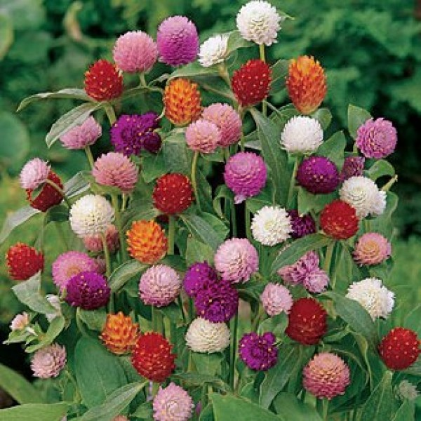 Omaxe Gomphrena Globe Mixed Seeds