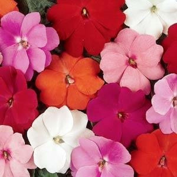 Omaxe Impatiens Babby Mixed (10 seeds)