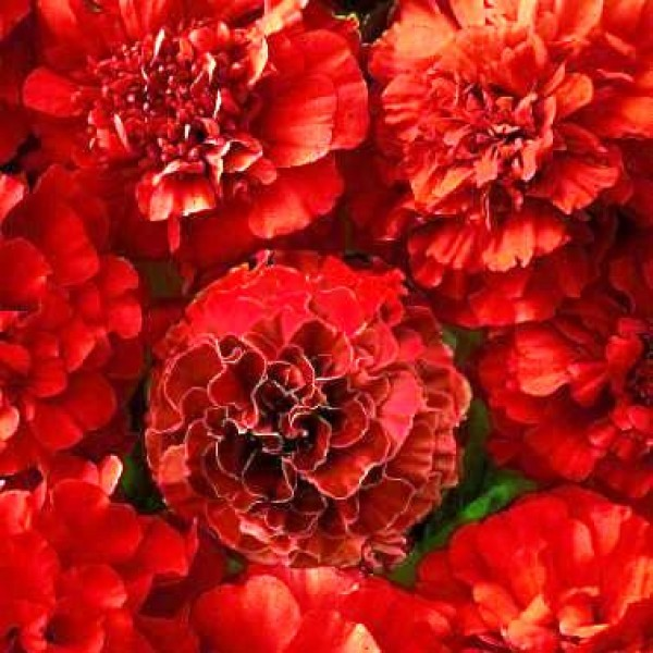 Omaxe Marigold DBL. Red Cherry (50 seeds)