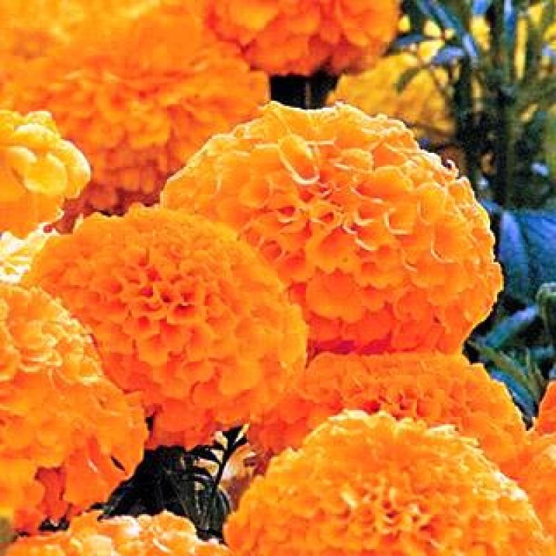 Buy Marigold F1 Inca Orange 10 Seeds Online At