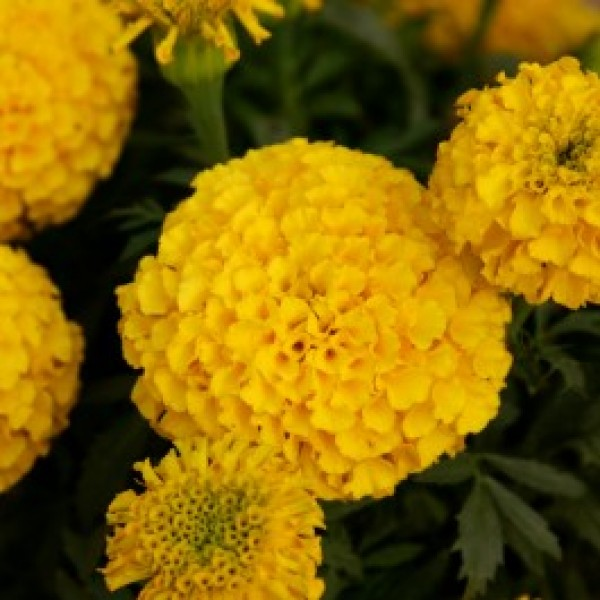 Marigold F2 Dwarf Yellow (50 seeds)