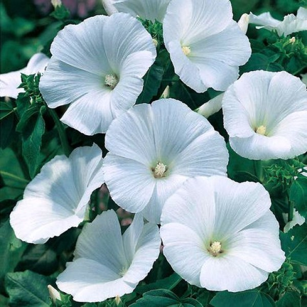 Omaxe Pansy F1 Mont Blanc White (10 seeds)