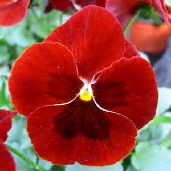 Omaxe Pansy F1 Scarlet Red (10 seeds)