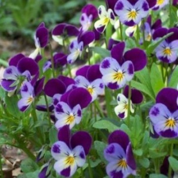 Omaxe Pansy Viola Johny Jump Up Seeds