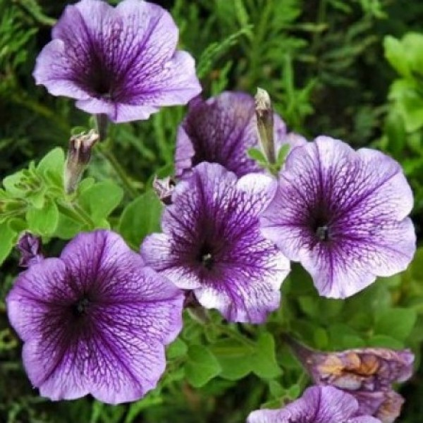 Petunia Grandiflora Purple Seeds