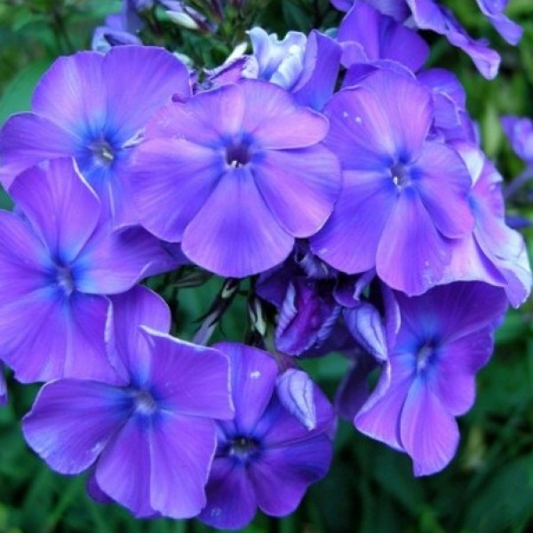 Omaxe Phlox Beauty Blue seeds