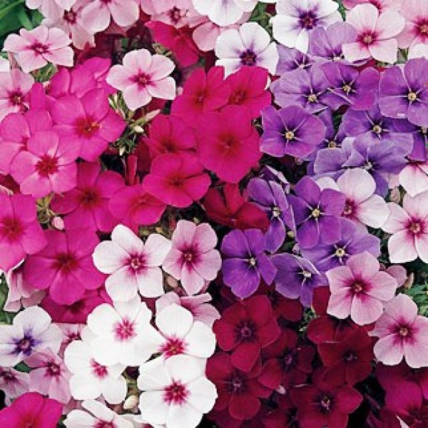 Omaxe Phlox Beauty Mixed Seeds