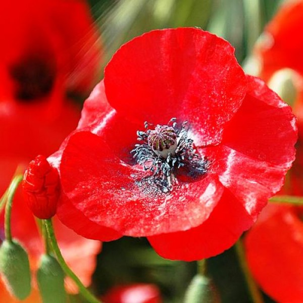 Omaxe Poppy Papaver Shirley Seeds