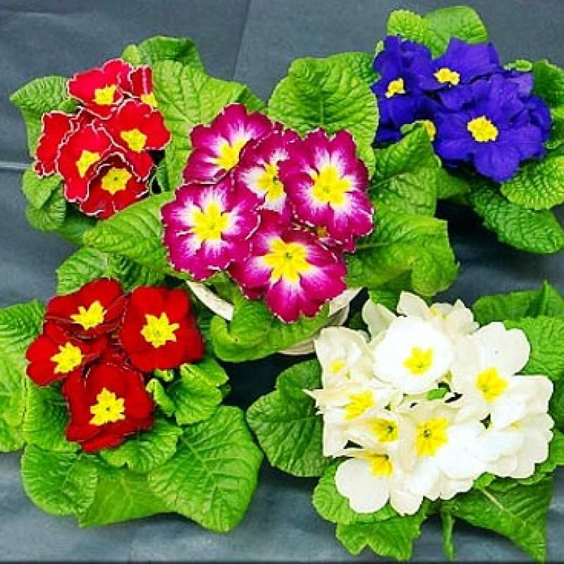 Omaxe Primula Selection Mixed