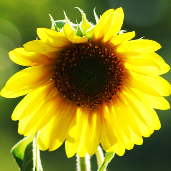 Omaxe Sunflower Large bloom Seeds