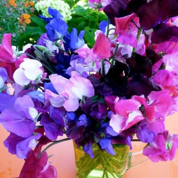 Sweet Pea Bonanza Mixed