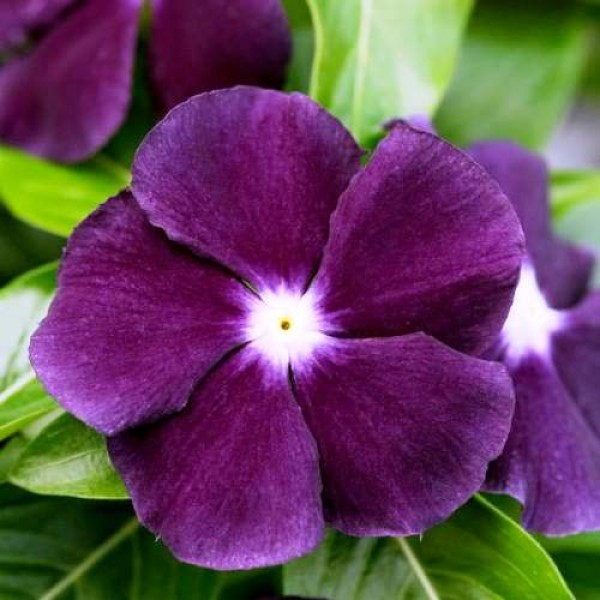 Omaxe Vinca Nana Black Purple (50 seeds)