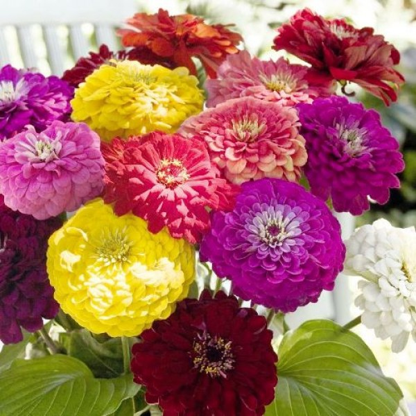 Zinnia Elegans F1 Mixed Seeds