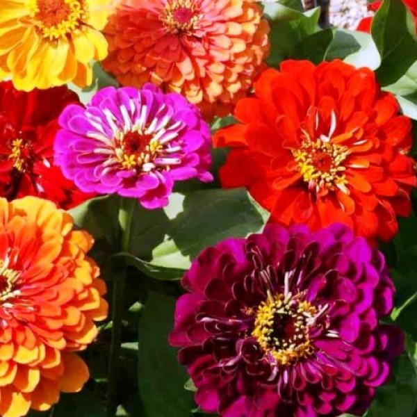 Omaxe Zinnia Elegans Mixed Seeds