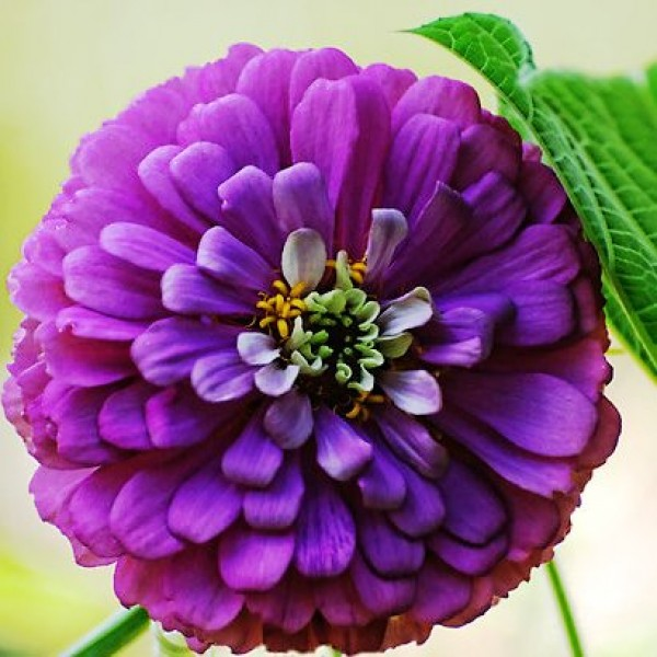 Omaxe Zinnia Elegans Purple Seeds