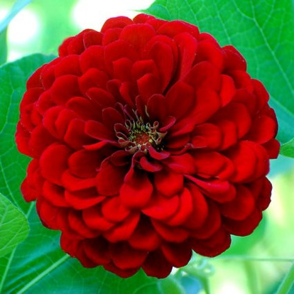 Zinnia Elegans Red Seeds