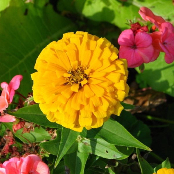Omaxe Zinnia Elegans Yellow Seeds