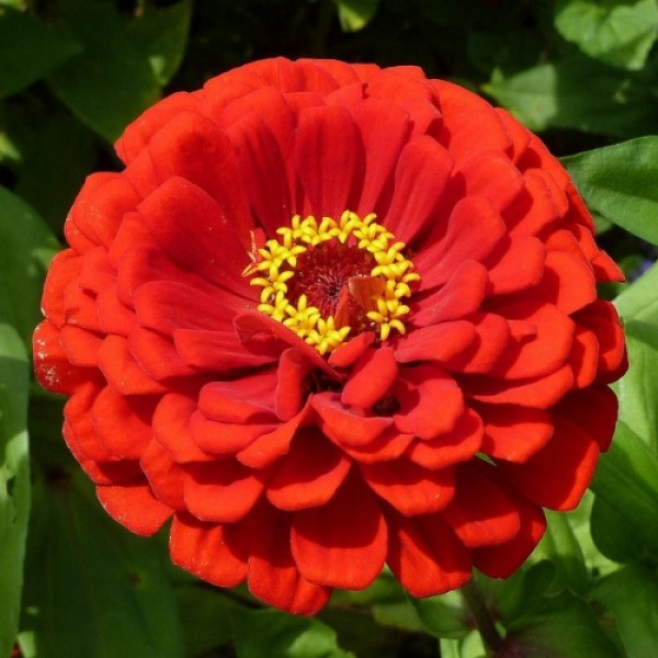 Omaxe Zinnia F1 Tall Red Seeds