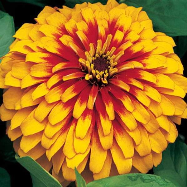 Omaxe Zinnia F1 Tall Yellow Seeds