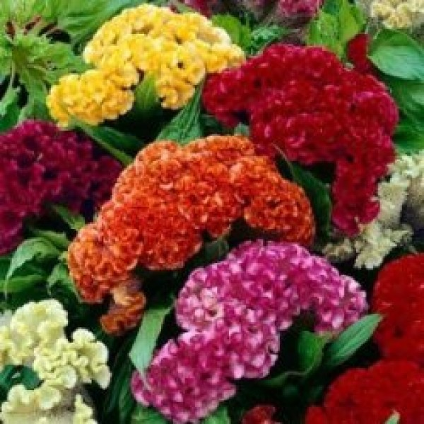 Omaxe Cockscomb Dwarf Jewel Mixed Seeds
