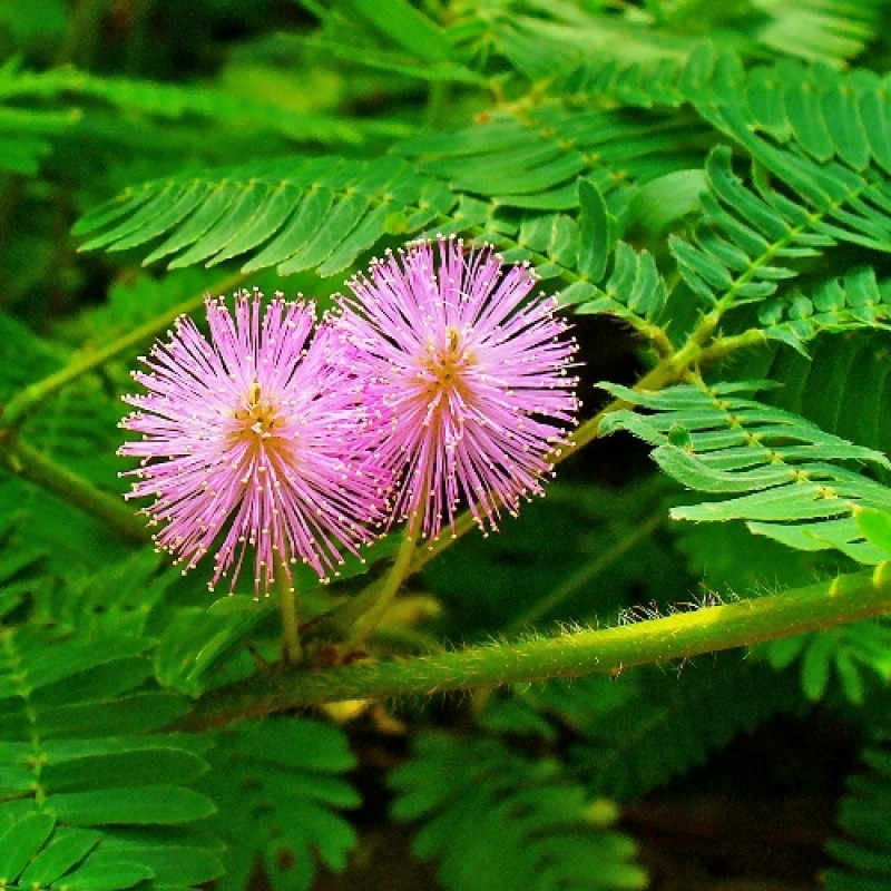 Buy Mimosa Touch Me Not Plant Online At Cheap Price