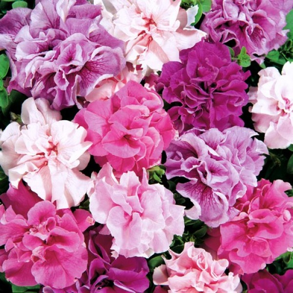 Omaxe Petunia Glorious DBL Mixed Seeds