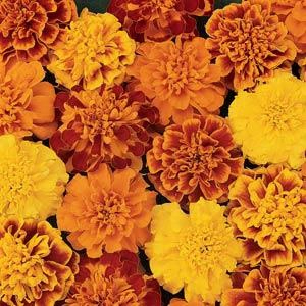 Omaxe Marigold Tagetes Erecta Rodeo Royal Mix Seeds