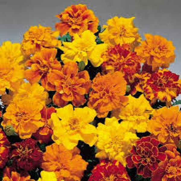 Omaxe Marigold French Royal Seeds