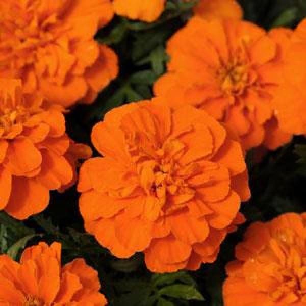 Omaxe Marigold Nana Patula Orange seeds
